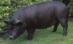 アグー豚を沖縄で食べ放題